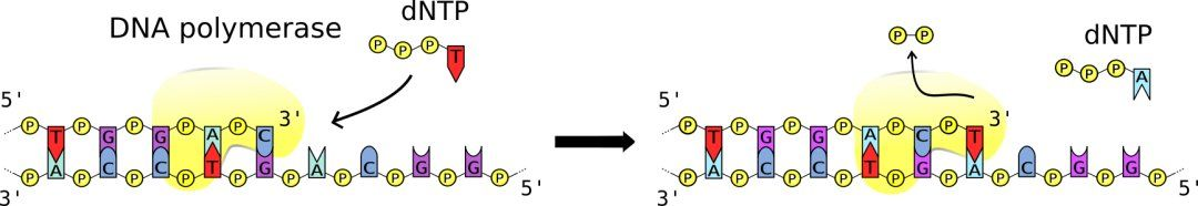 DNA polymerases adds nucleotides to the 3' end of a strand of DNA.
