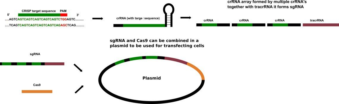 Overview of CRISPR Cas9 plasmid construction.