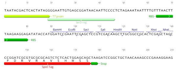 Multiple cloning site image of pSpot2
