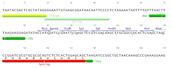 Multiple cloning site image of pSpot3