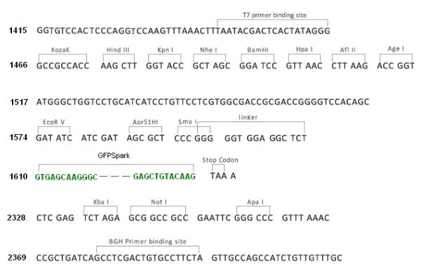 Multiple cloning site image of pCMV3-C-GFPSpark