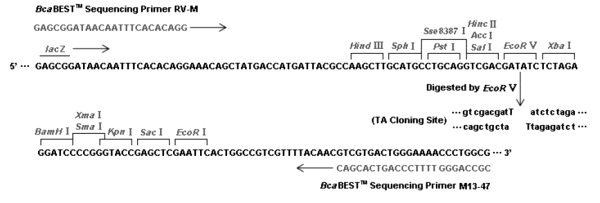 Multiple cloning site image of pMD19-T